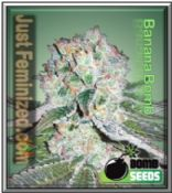 Buy the Finest Quality Banana Bomb Cannabis Seeds by Bomb Seeds